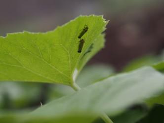 「バナナ虫」と呼ばれる、黄色いヨコバイの一種。畑の葉っぱの裏で休んでいたよ。
