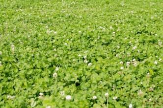 クローバー畑のイメージ