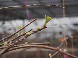 キウイの葉っぱも日に日に成長しているよ。